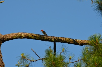 Red-headed woodpecker in pine tree: normal.