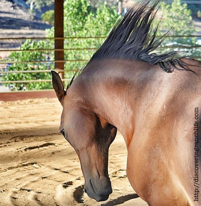 trFotor052415446 horse tossing head